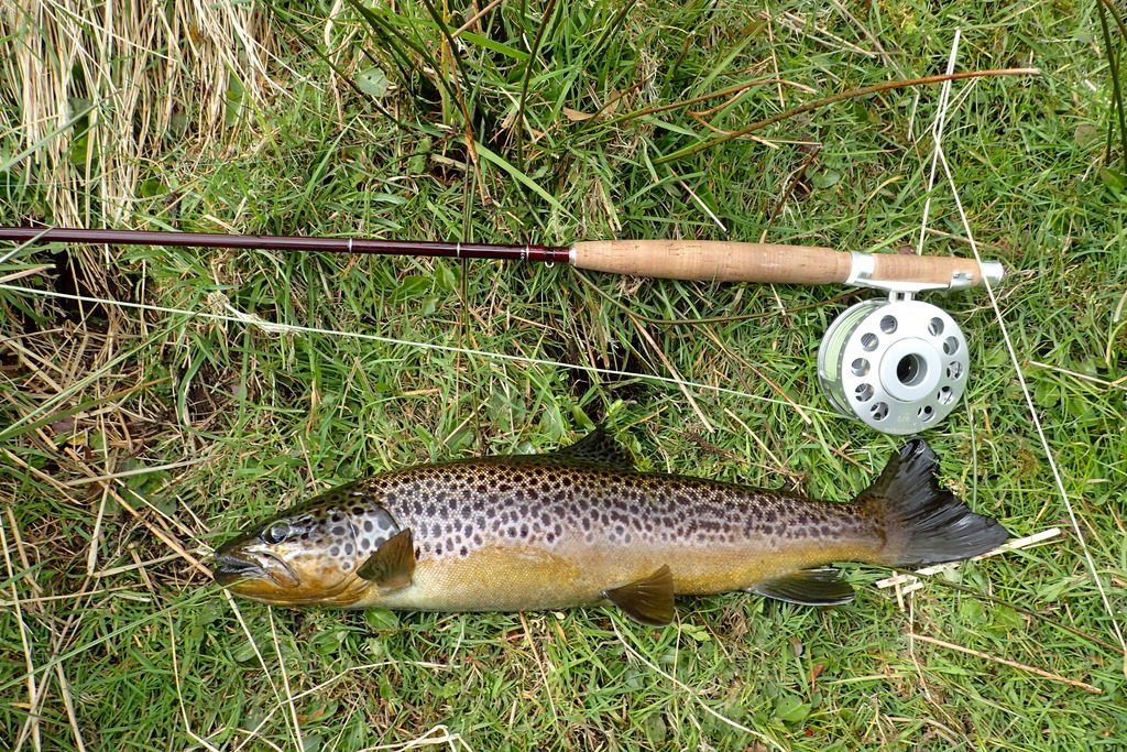20 inches of Wild Dartmoor Brown Trout